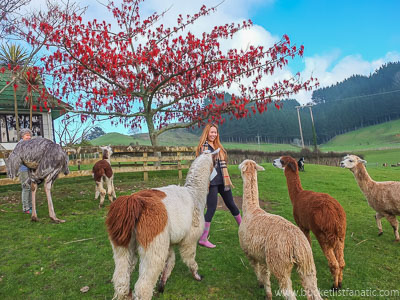 Play With Alpaccas - Bucket List