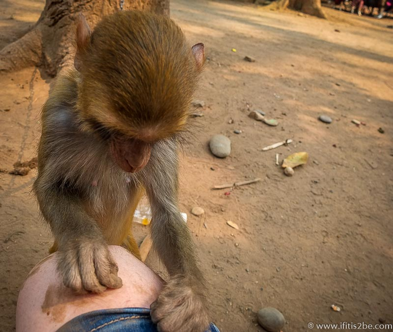 Laos Monkey (Golden Triangle)