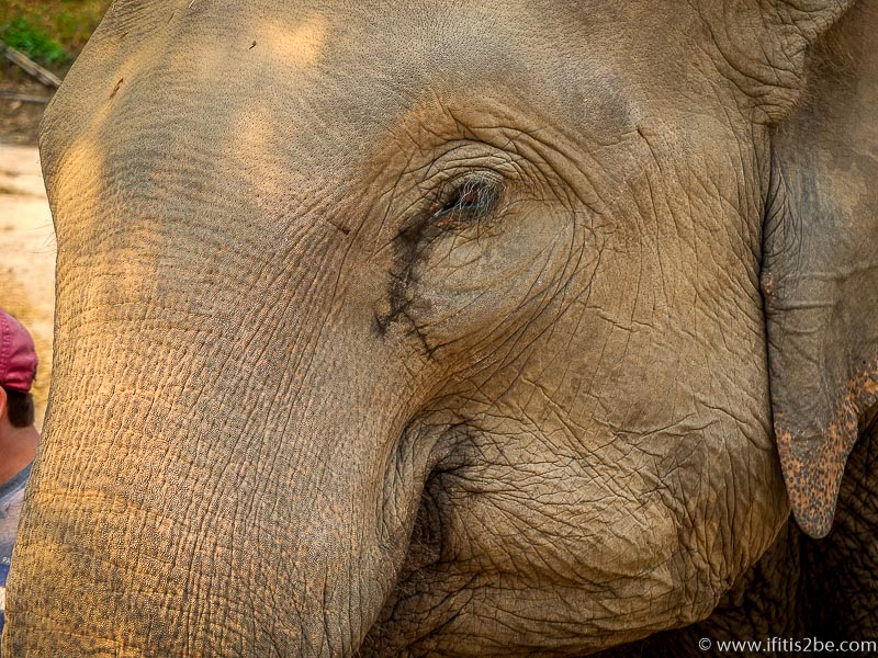 Elephant seemingly crying, which is a natural way for it to protect its eyes