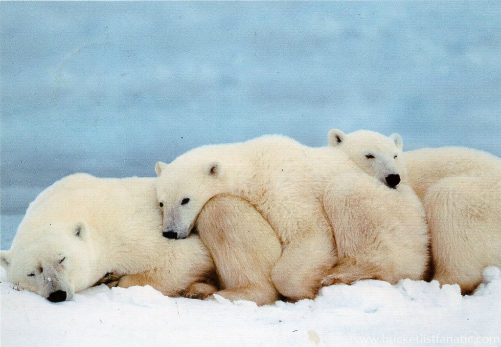 Polar Bears - Svalbard Bucket List